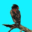 Bateleur eagle by jozi1