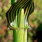 Jack-in-the-Pulpit by asm1