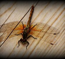 Resting Dragonfly by Ashley Bauer