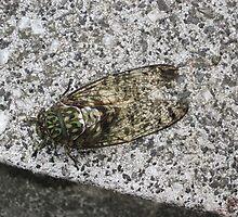 Tokyo Cicada by CharleenMorris