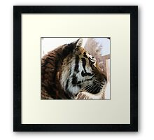 Tiger waiting for lunch in the Winter Sun Framed Print