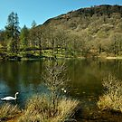 Swan On The Tarn by John Hare