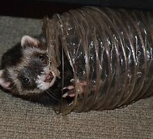 Playful Ferret by betsy8897
