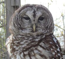 Barred owl by Jackie Popp
