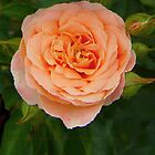 Peach Colored Rose by lindabeth