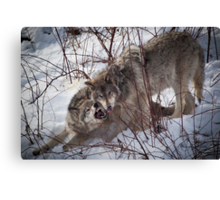 Timber Wolves Fighting Canvas Print