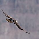 Immature Bald Eagle in Flight by Michael Mill