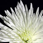 White Flower in close up by henuly1