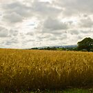 Golden Fields of Wheat by Brian Roscorla