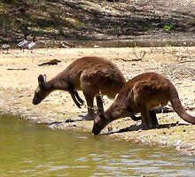Kangaroos  by KoosG