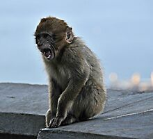 Young Barbary Macaque, Gibraltar by buttonpresser