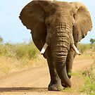 I&#x27;M RIGHT BEHIND YOU! - THE AFRICAN ELEPHANT  Loxodonta Africana by Magaret Meintjes