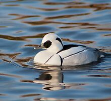 A lonely Smew by Lauren Tucker