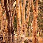 Gum Trees by Sally Haldane