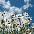 Field of Summer Daisies by Jeff Hathaway