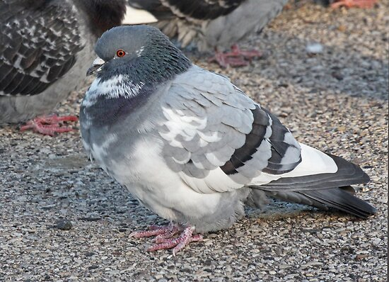 White and Black Pigeon with Grey Area 3696 by Thomas Murphy