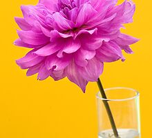 Pink Dahlia Flower in Vase against Yellow Background by Natalie Kinnear