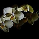 Orchids in the Dark by Lennox George