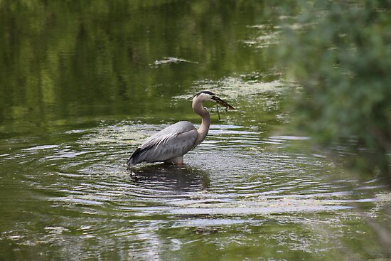 Great Blue Heron with Creek Chub by Thomas Murphy