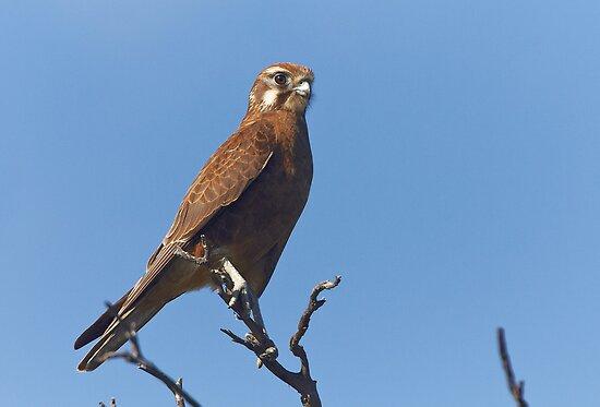 Brown Falcon by Robert Elliott