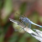 Blue dragonfly by gogston