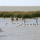 Pelicans and Gulls - Lake Albert, The Coorong, SA by Ruth Durose