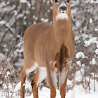Handsome Young Buck by Todd Weeks
