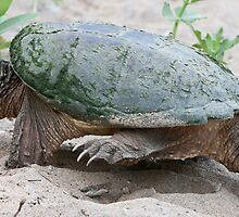 Egg Burier - Snapping Turtle by DigitallyStill
