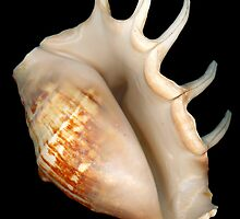 Shell - Conchology - Conch by Mike  Savad
