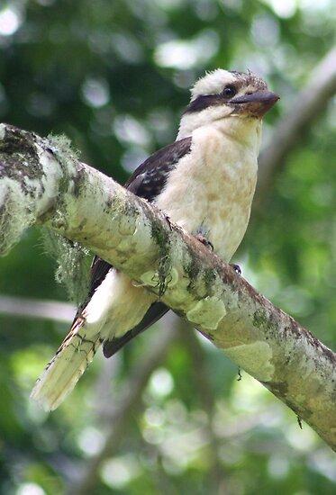 Kookaburra by Bami