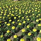 Army of Marigolds by MidnightMelody