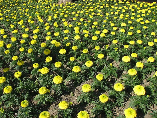 Army of Marigolds by MidnightMelody