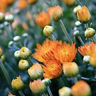 A Cluster of Orange Flowers Found in The Garden by Nigel Cummings