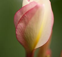 Frangipani Bud by Sea-Change