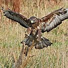 Low Flying Buzzard. by Mark Hughes