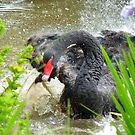 Warning.... Do Not Disturb A Mother In Waiting!! - Black Swan - NZ by AndreaEL