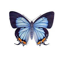 Imperial Blue Butterfly Photographic Print