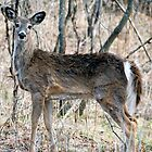 Doe, A Deer, A Female Deer... by tom j deters