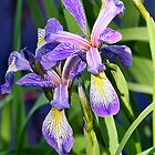 Purple Iris by MDossat