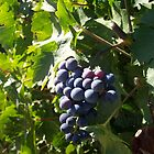 Napa Grapes by photosbycecileb