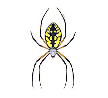 Argiope Spider Photographic Print