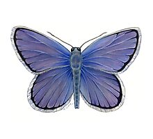 Karner Blue Butterfly Photographic Print