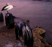 """From a coral-ridden rock, a brown pelican takes flight, from the opaque gloom, into morning light.""- Michael Bergman by Carly19"