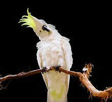 Sulphur-crested Cockatoo by Melissa Dickson
