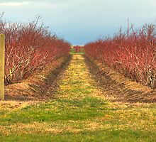 Blueberry Bushes Awaiting Spring by Dale Lockwood
