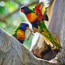 Rainbow Lorikeets (Trichoglossus haematodus) drink from a hidden water supply in a tree trunk by Nick Egglington