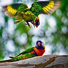 A Rainbow Lorikeet (Trichoglossus haematodus) approaches from above by Nick Egglington