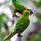 Two Rainbow Lorikeets (Trichoglossus haematodus) share a secret by Nick Egglington