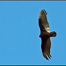 Turkey Vulture by Bine