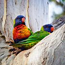 Two Rainbow Lorikeets (Trichoglossus haematodus) share a cosy spot by Nick Egglington